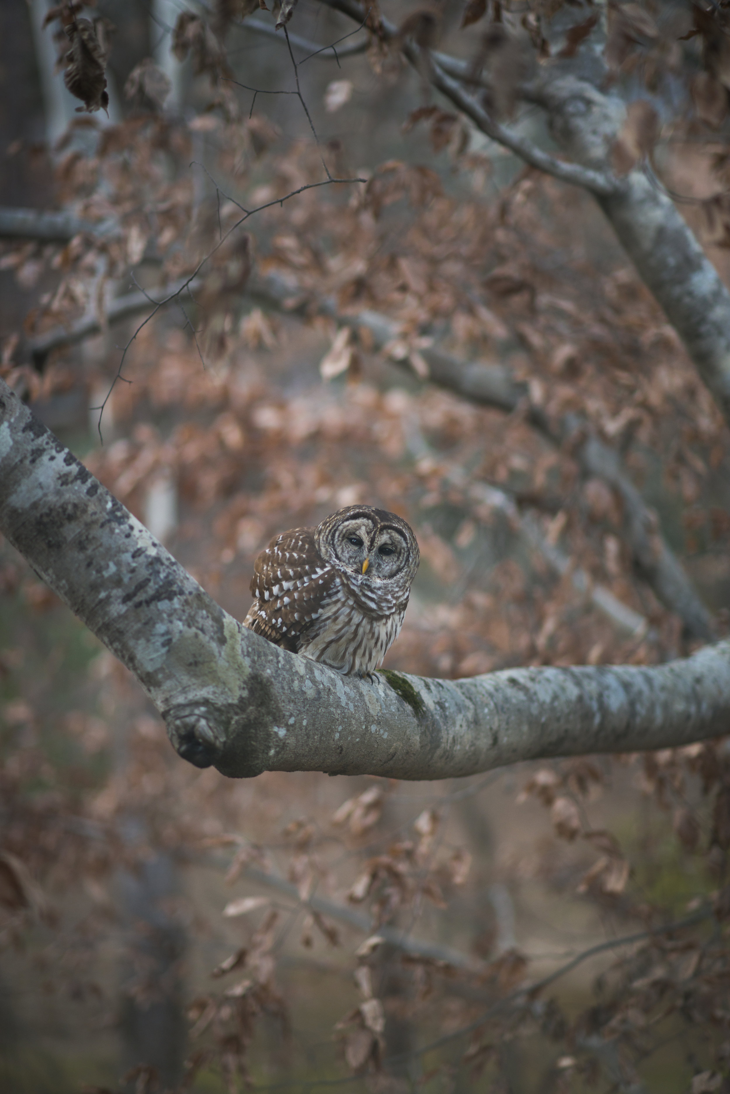 Barred Owl, Alabama