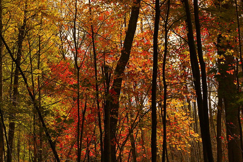 800px-Autumn_trees_with_red_leaves.jpg