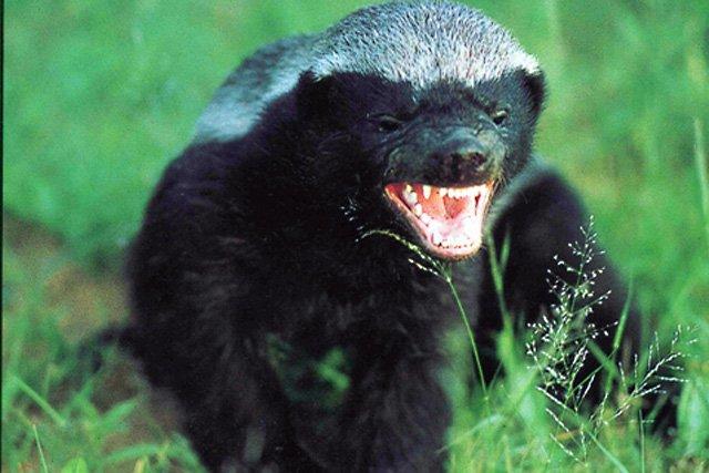 honey-badger-640_s640x4271.jpg