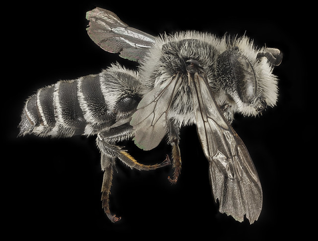 Copy of Coelioxys Sodalis