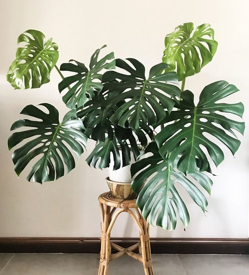Monstrea - Known for its beautiful split leaves, the Monstera Deliciosa is the perfect house plant that can make a bold and fun statement in your home. This easy to take of plant requires moderate sun-light and light watering, and can grow just about anywhere in your home!