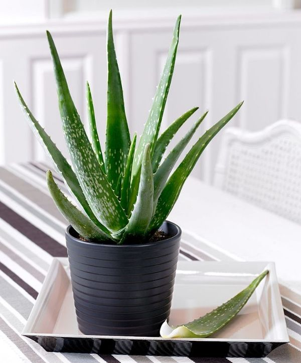 Aloe Vera - Aloe plants are part of the succulent family and do best in dry conditions. It is important that the plant isn't over watered and that it gets sufficient sunlight. Aloe Vera plants can be used to make many household remedies; you can use the gel inside the plant to treat minor burns.