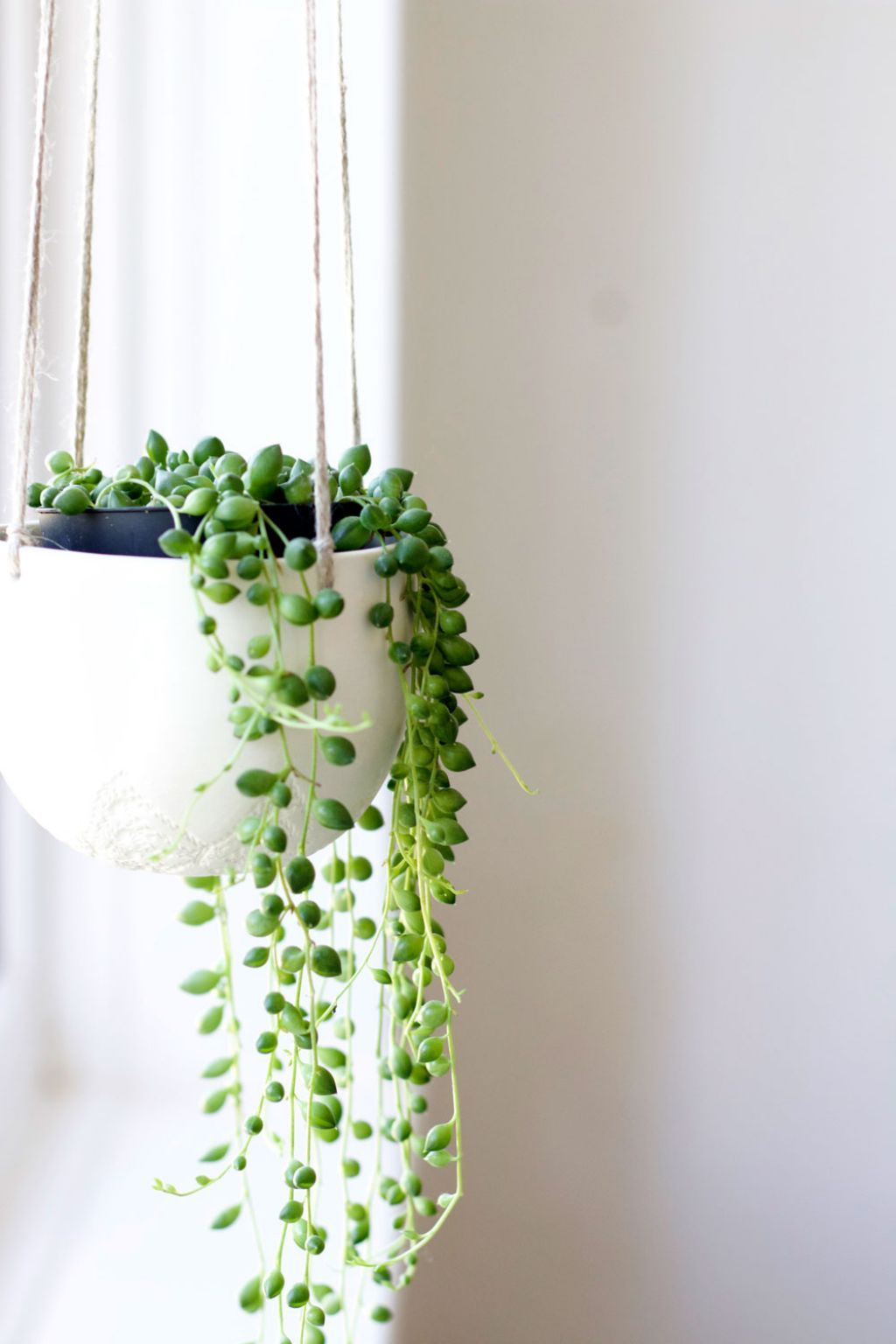 String of Pearls - This eye-catching succulent is a fun and easy to take care of. String of Pearls requires very little hands-on care and thrives well in average indoor temperatures.