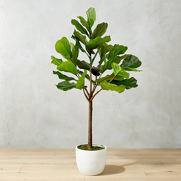 Fiddle Leaf Fig - This insta-worthy house plant can make any space in your house look trendy! These beautiful plants can grown up to 6ft and can easily adapt to surrounding conditions. They require consistent sunlight and must be watered thoroughly.