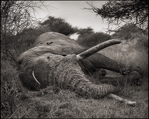 Elephant-Speared-in-Head.jpg