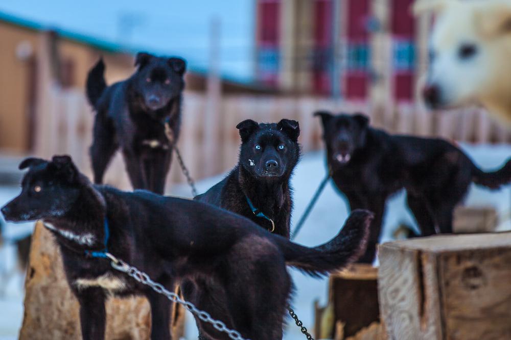 dogs-of-Kotzebue-1.jpg