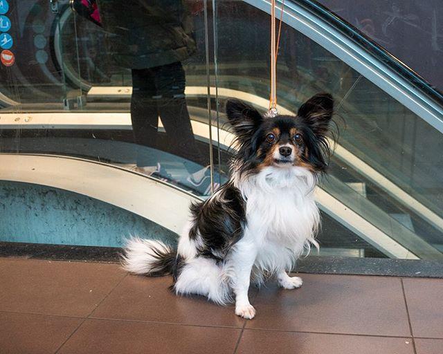 Dog 2.  In the lobby of the grocery store across the park from the museum.  #bartholomeusvanderhelst #amsterdam #rijksmuseum #netherlands #dogs #dogsofinstagram