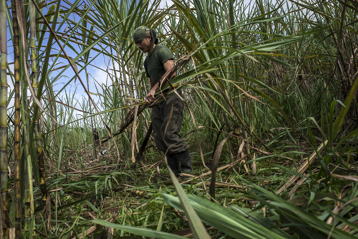 A guerrillero harvests the sugar cane in a field owned by the guerrilla. Most of the guerrilleros come from peasant families. (June 25, 2016. South Caquetá)