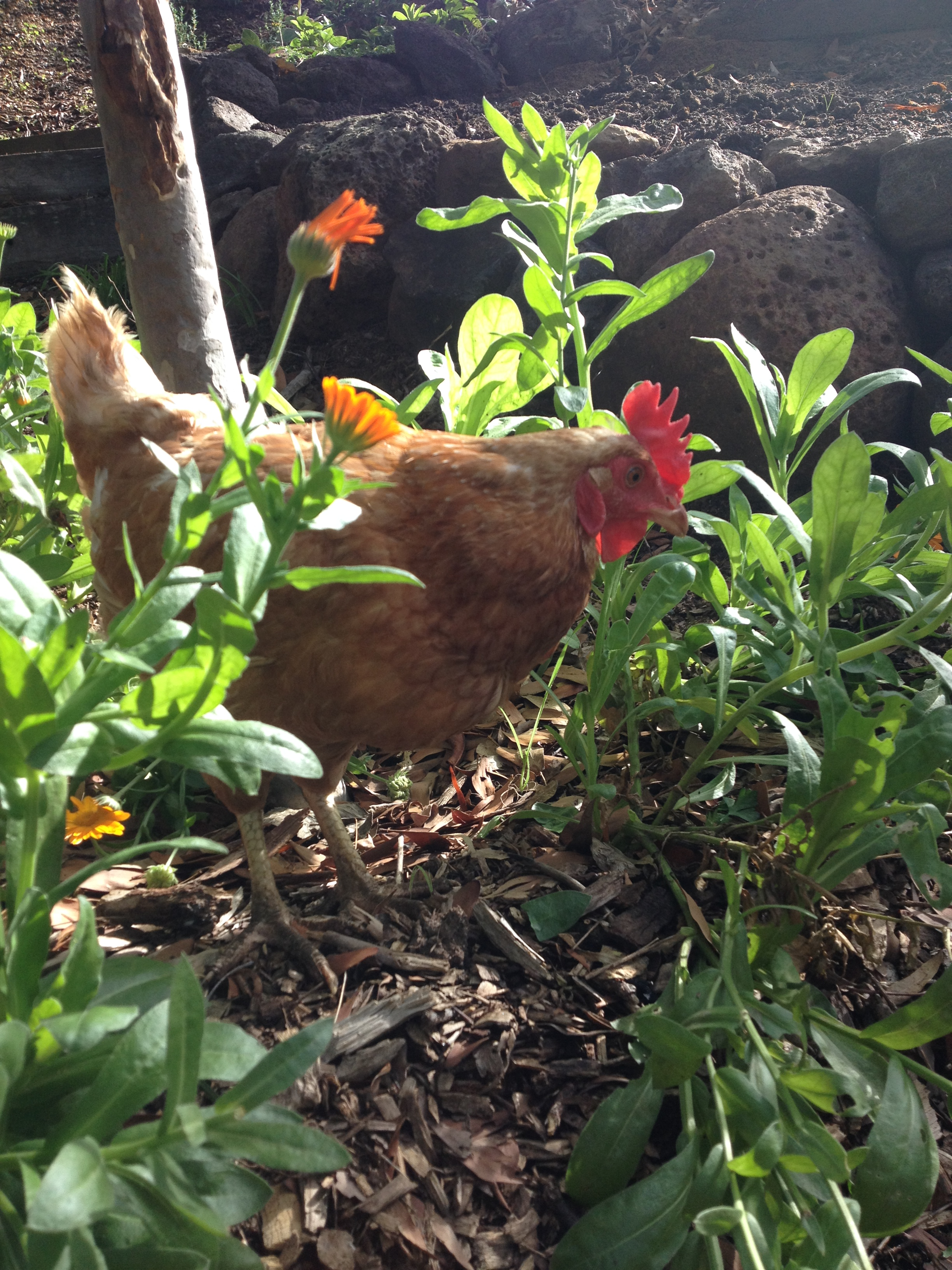 """""""One of our resident chooks."""""""