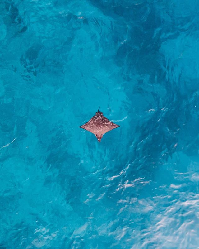 A lonely Spotted Eagle Ray 💦 ⠀ Although he looks small in the photo, they can grow up to 3metres wide!