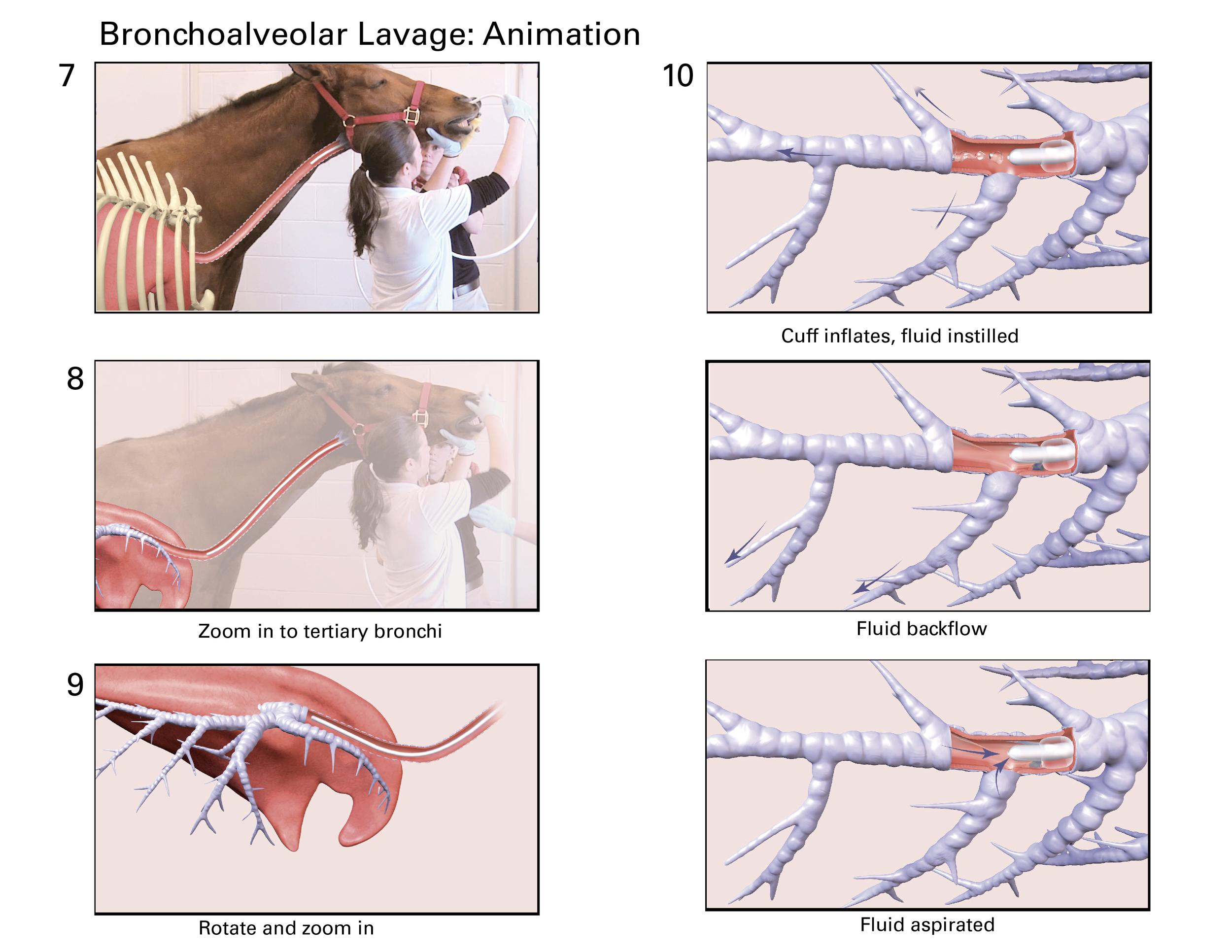 Final screenshots from Bronchoalveolar Lavage animation for use in Equine Lower Respiratory Disease Diagnostics iBook for the UGA College of Veterinary Medicine.  Changes from original storyboard sketches due to footage, and use of illustrations to represent initial steps.  ©2016 UGA
