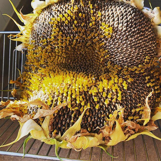 Free side of the road score giant sunflower!!! 🌻 So many seeds! #nextyearsgarden #sunflower #seeds #seedsaving #sideoftheroadscore #cowichanvalleylove #vanislelife