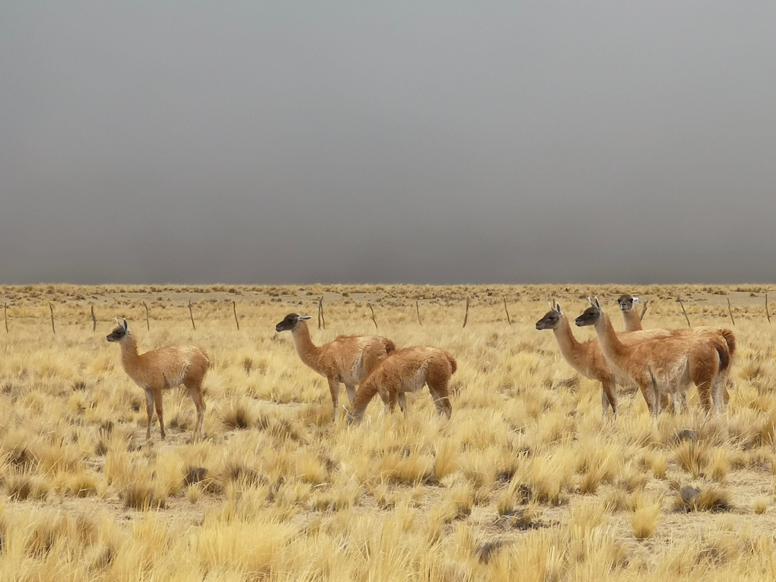 23a. Vicunas on the plain - The Grown Up Edit.jpg