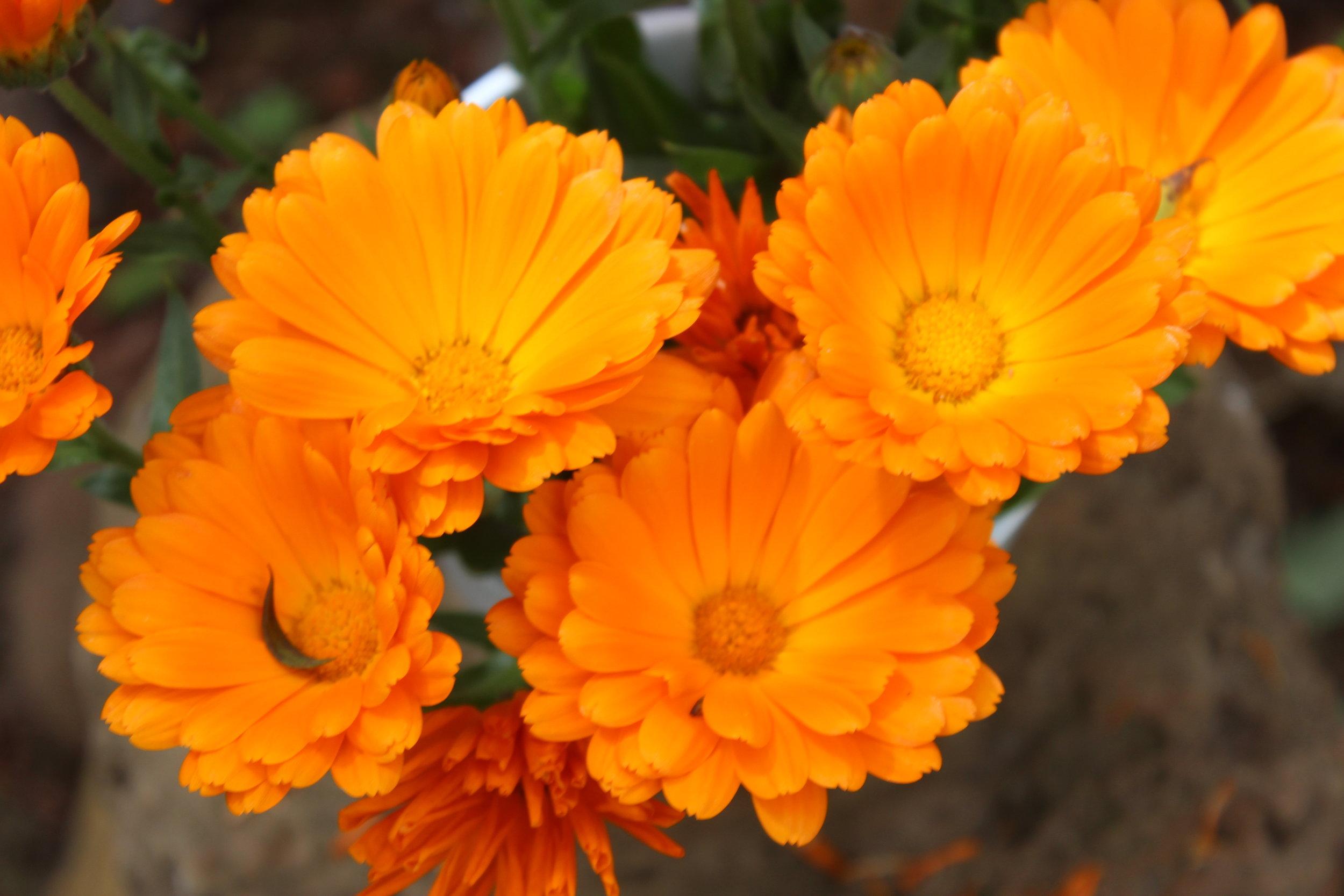 Calendula officinalis (Marigold) Closeup of orange flowers in bloom