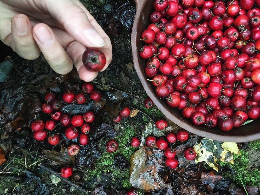 Hawthorn berries are powerful medicine