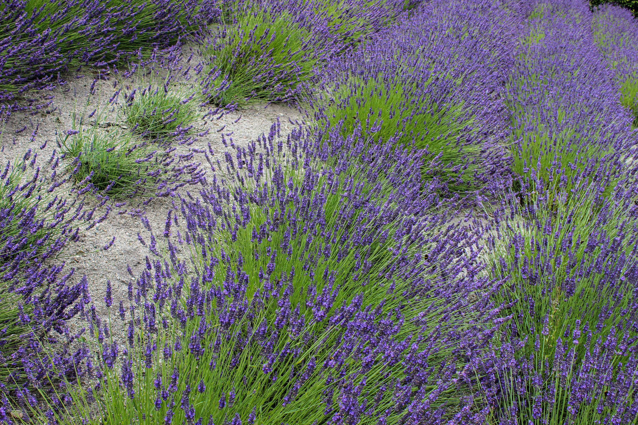 Lavendula angustifolia (Lavender) A photograph of a stretch of Lavender in bloom