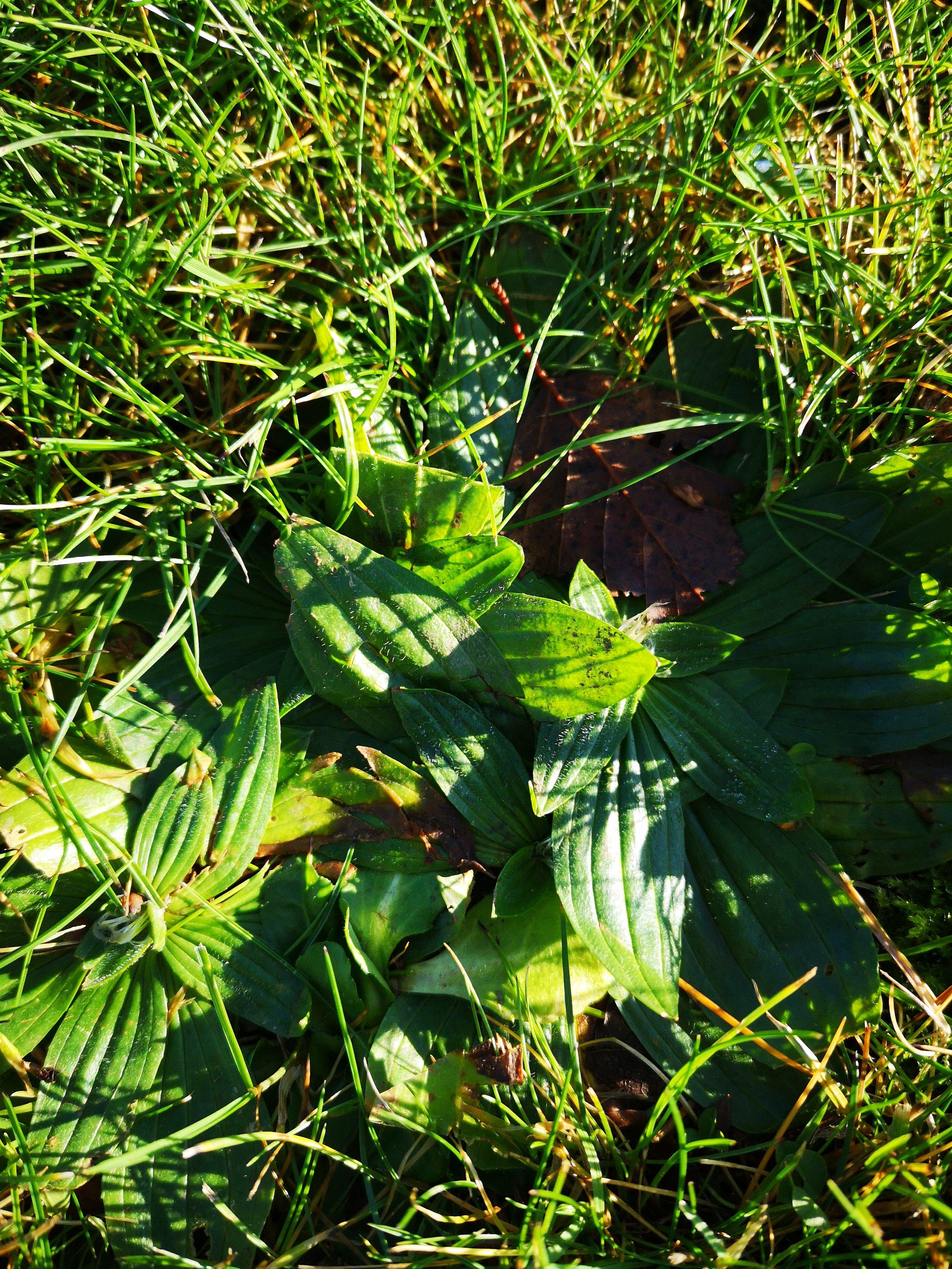 Plantago lanceolata (Ribwort Plantain)