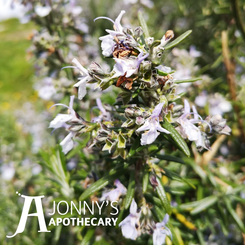 Rosemary (Rosmarinus officinalis)