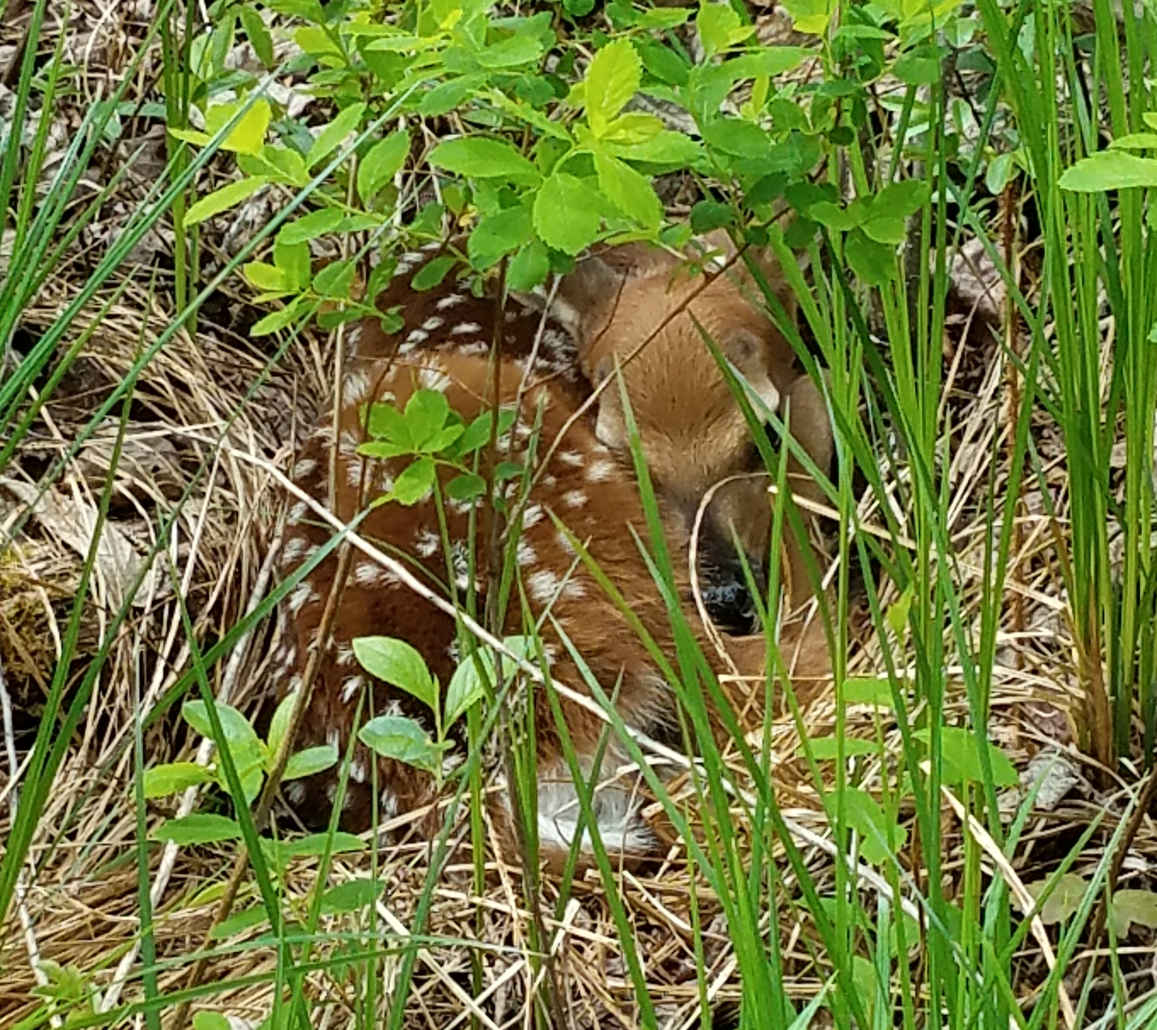 The young fawn one class discovered near the school. Mom returned later and the two left.
