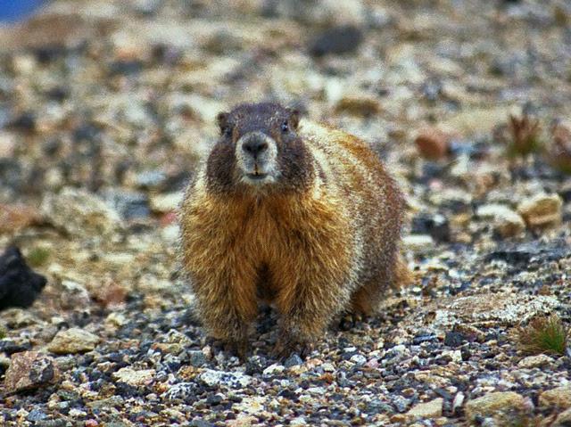 Groundhog. Photo Courtesy of Ettore Ballochi.