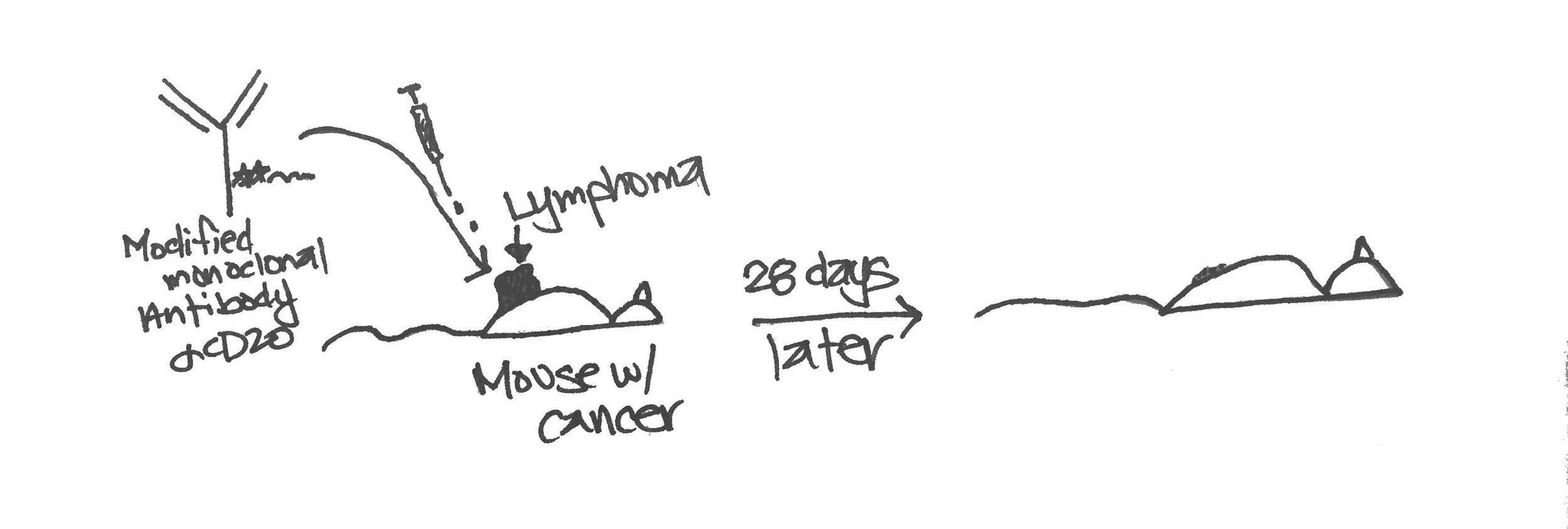 This doodle is of an in vivo assay testing whether the modified antibody can treat mouse lymphoma.