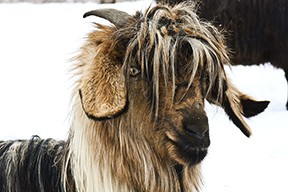 June Cashmere Goat Lo res.jpg