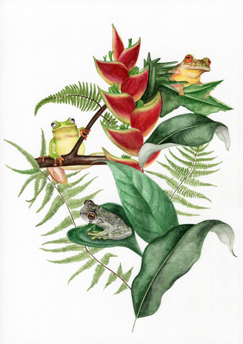 HARCC Frog Rescue Species    Artist : Alice Rosen  Instagram :  @alicerosen_illustration   Twitter :  @AliceRosen   Email : alice@rosen.org.uk