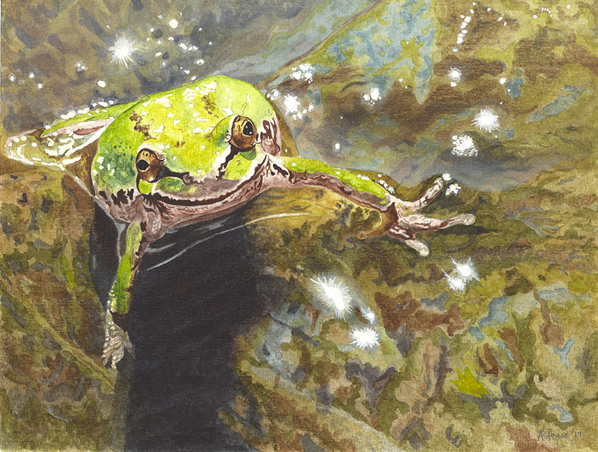 Pacific tree frog ( Pseudacris regilla )    Artist : Angie Peace  Instagram :  @angpeace77   Website :  https://angiepeace.com     Facebook :   https://www.facebook.com/angieatfrogandfern/    Email:    angpeace@hotmail.com