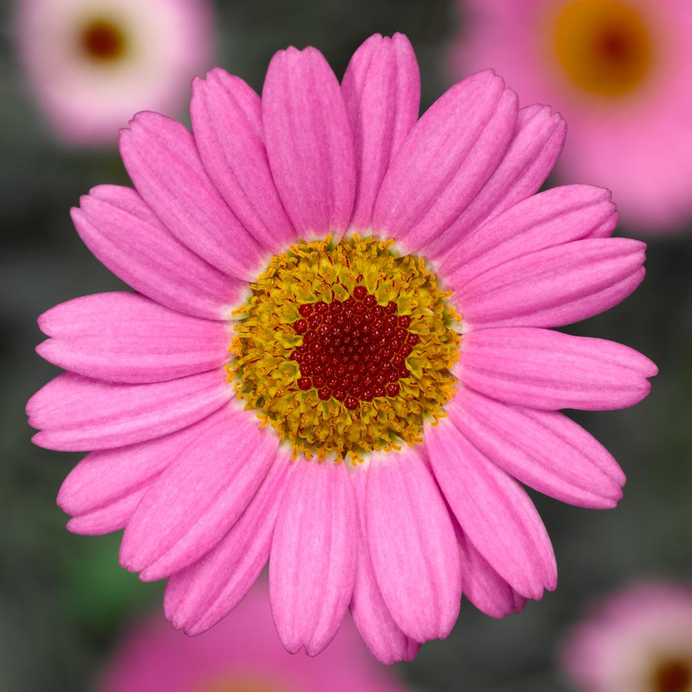 Molimba pink