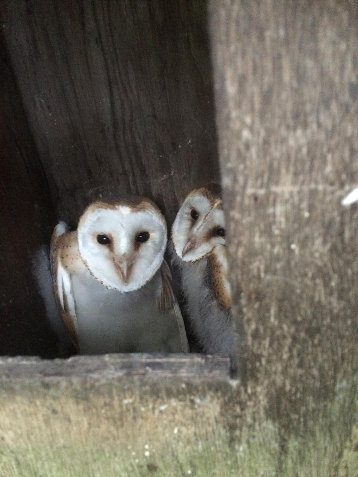 Barn Owl chicks