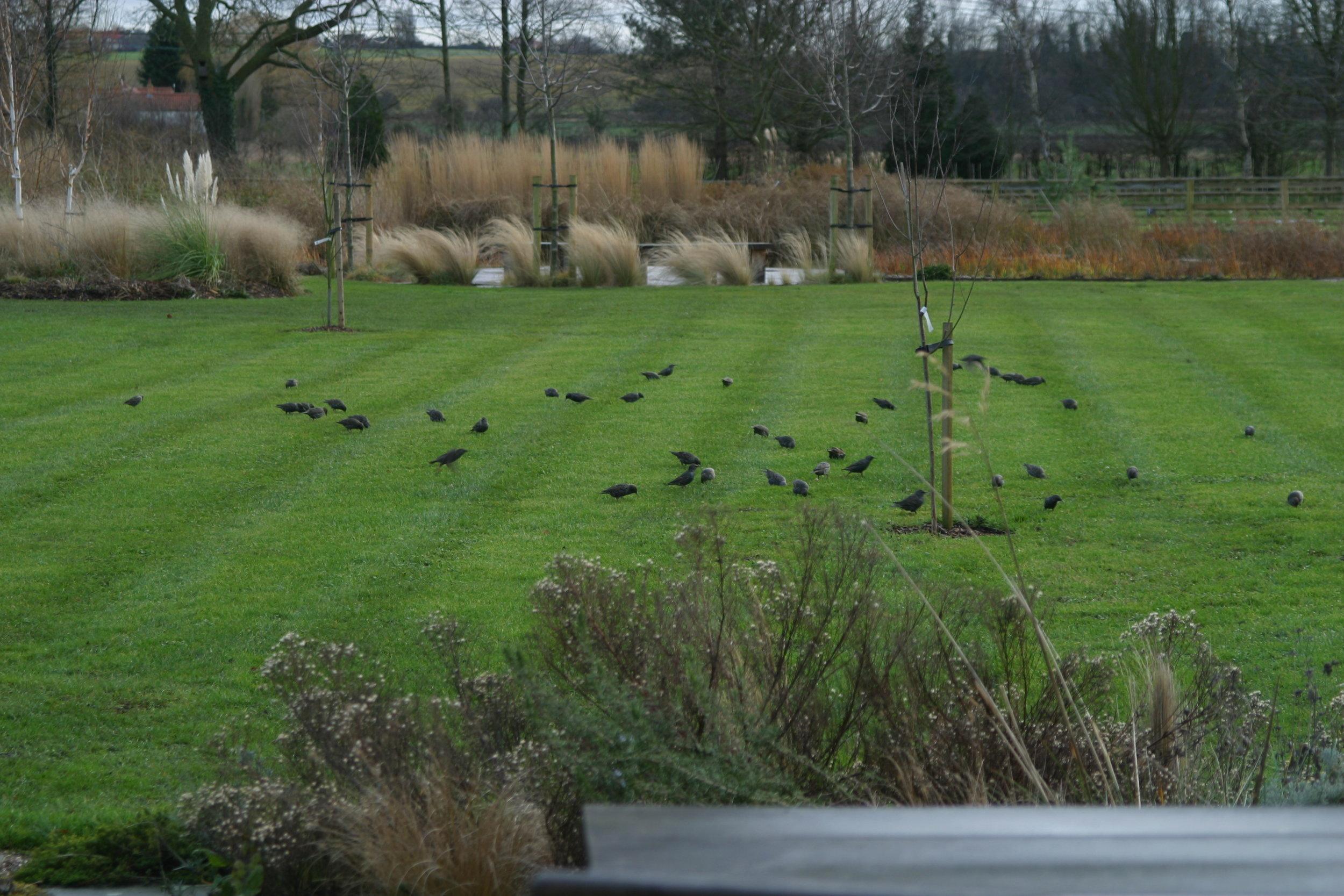 starlings feasting on the lawn in winter.JPG