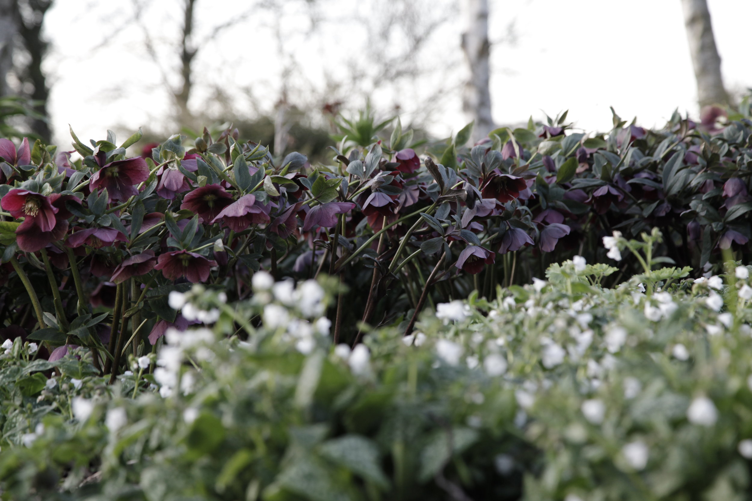 hellebores in the Winter Garden