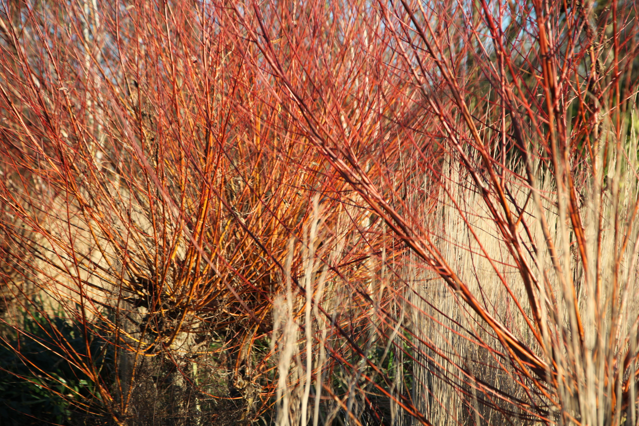 coloured willows and cornus flaming with colour in winter