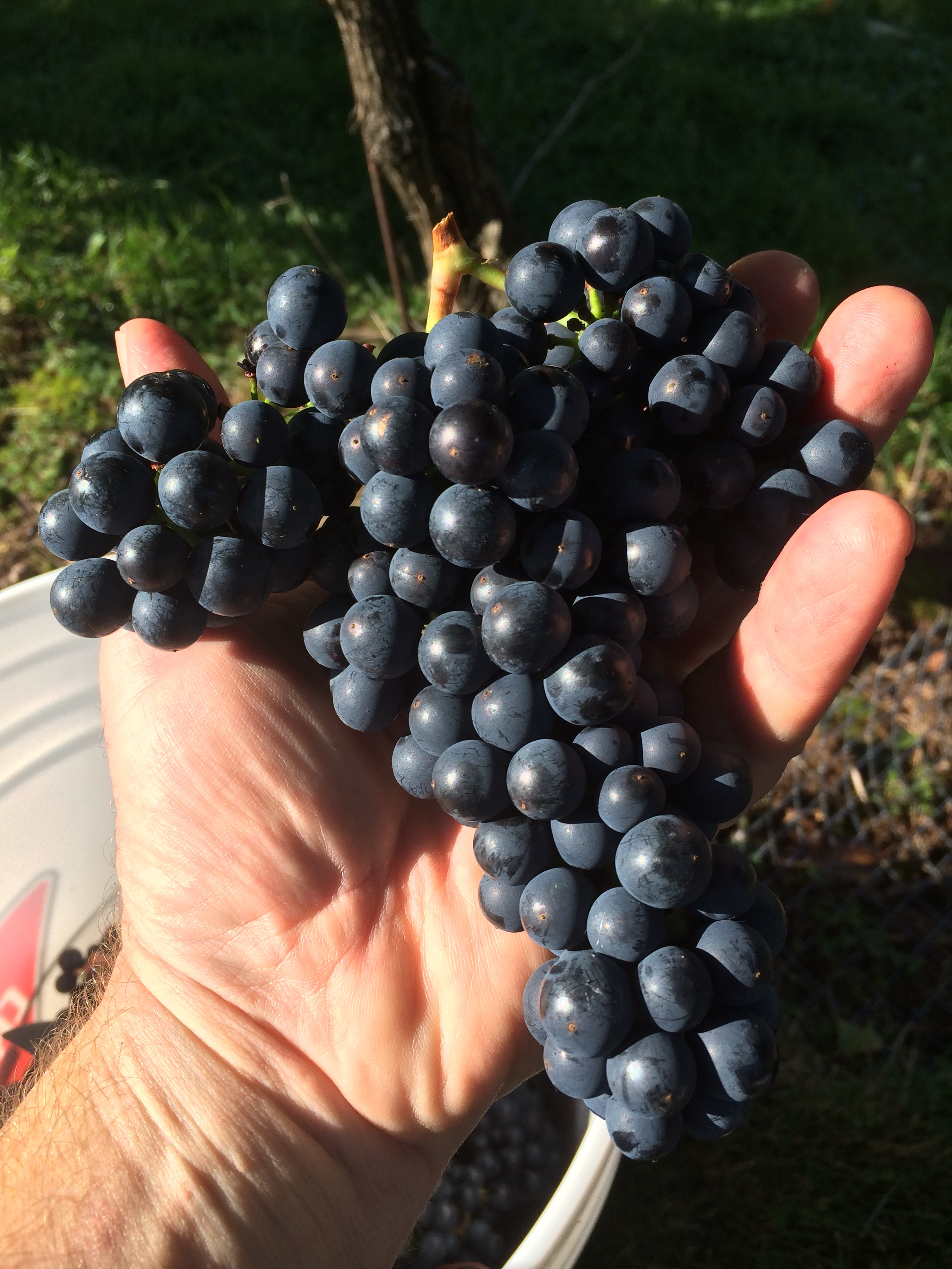 Learn about  Marechal Foch  grapes.