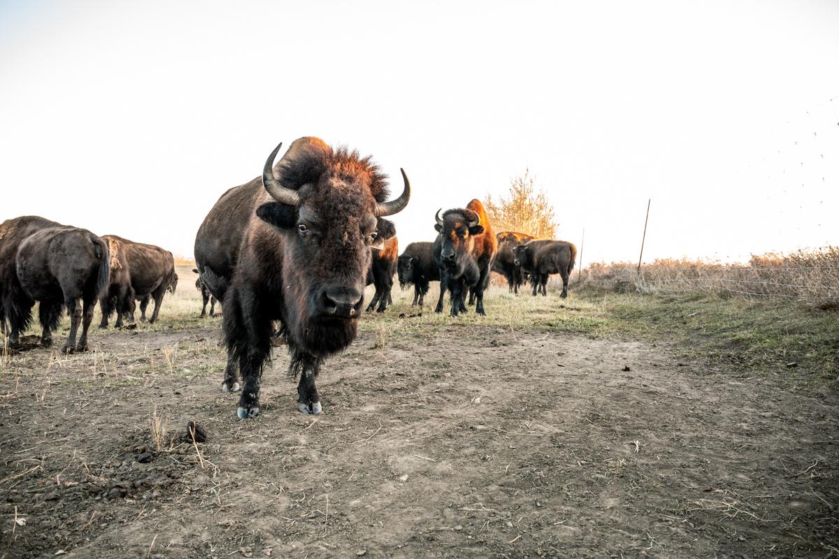 Bisons-9165.jpg