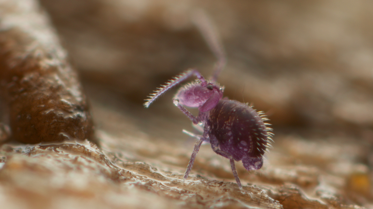 Adelphoderia species