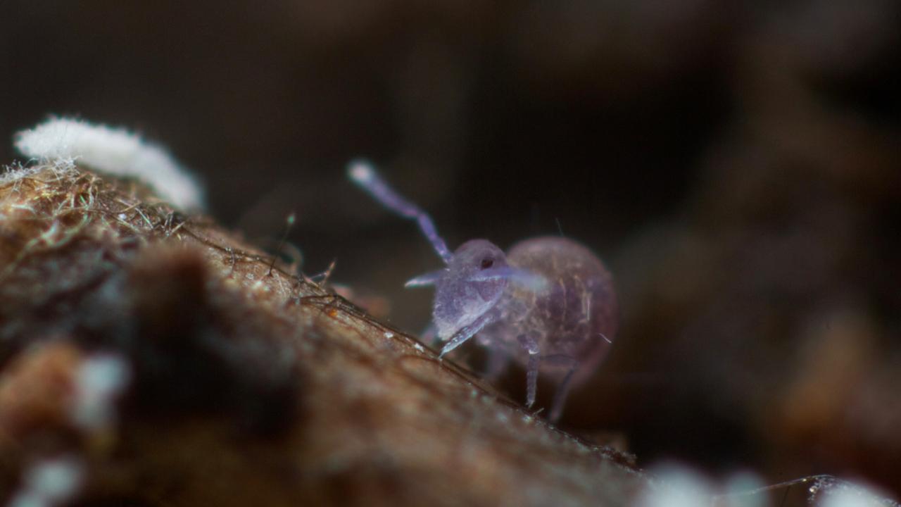Spinotheca magnasetacea , Tairua, NZ Feb 2014