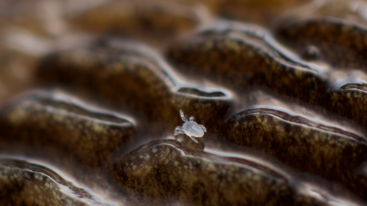 Six-legged larval form of Riccardoella oudemansi, the slug mite. East Pennard, Somerset, UK Nov 2016
