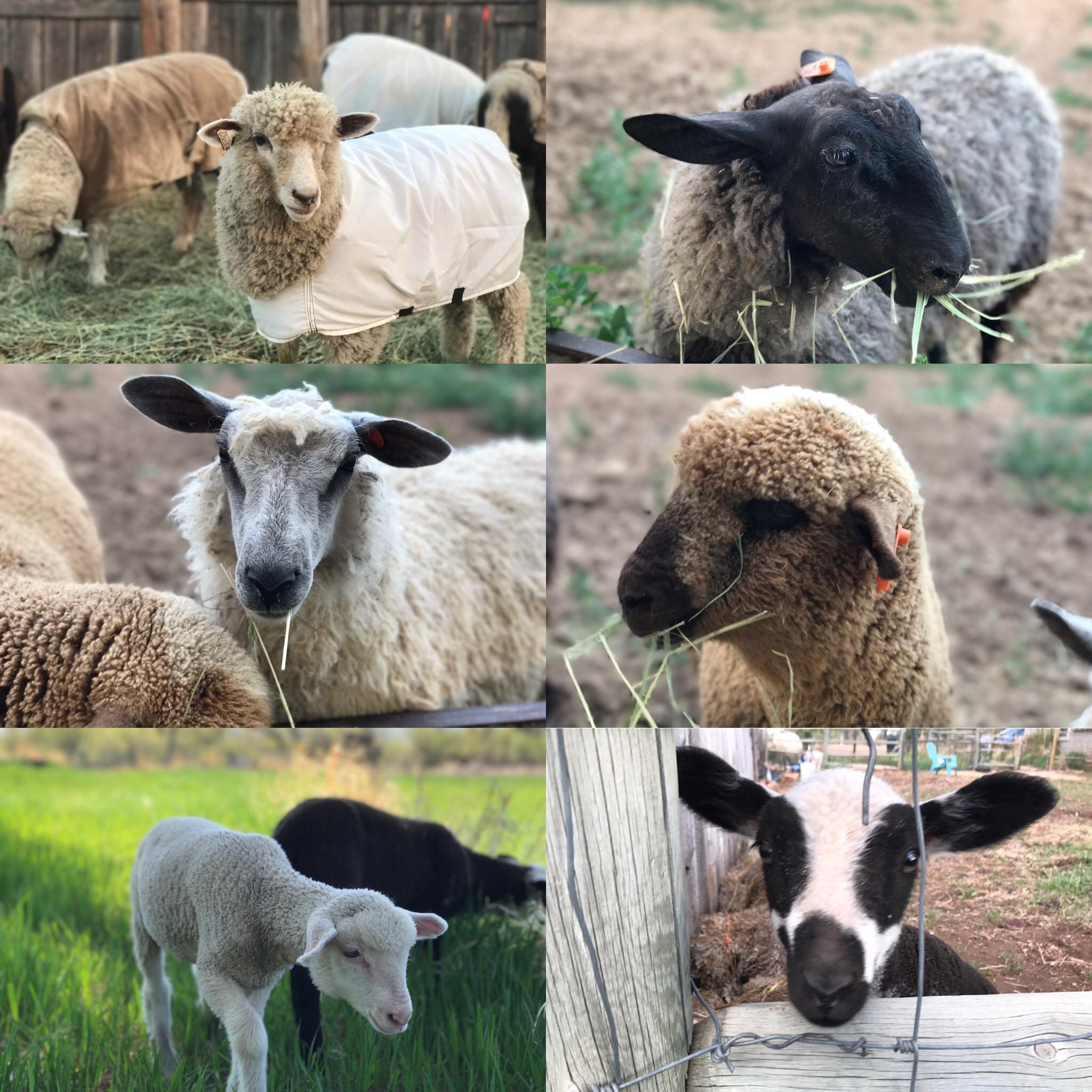 2017 New Lambs: Phlox, Laurel, Blue, Penny, Rosebay, and Violet