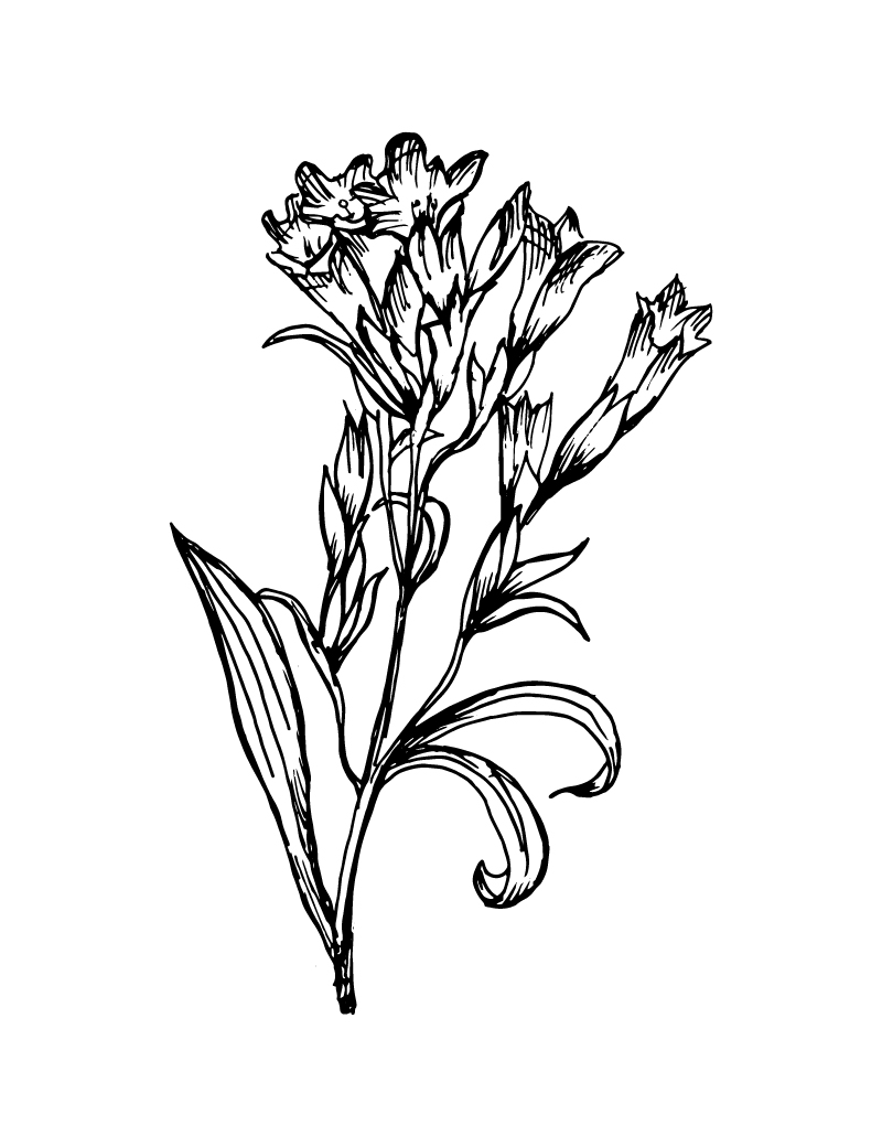 Wishcraft_Apothecary_Bach_Flower__Gentian.jpg