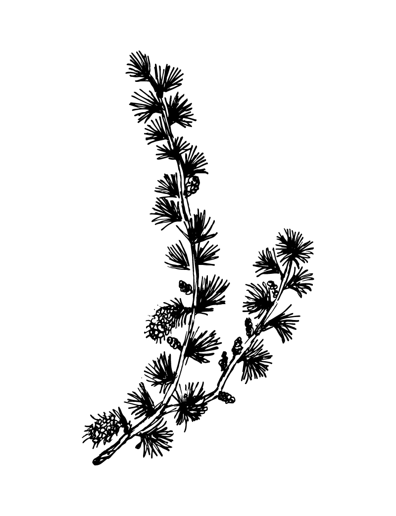 Wishcraft_Apothecary_Bach_Flower__Larch.jpg