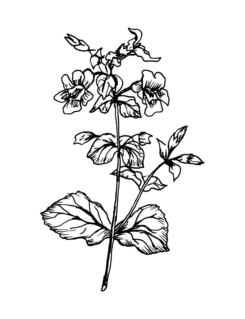 Wishcraft_Apothecary_Bach_Flower__Mimulus.jpg