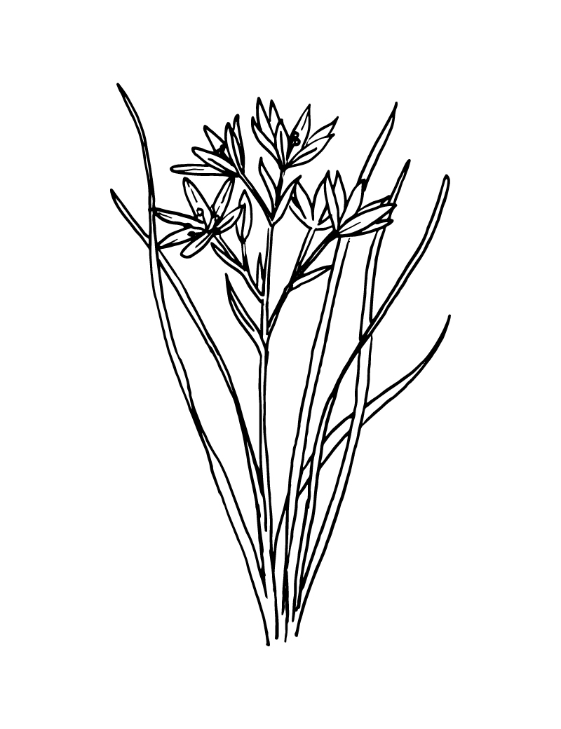 Wishcraft_Apothecary_Bach_Flower__Star of Bethlehem.jpg