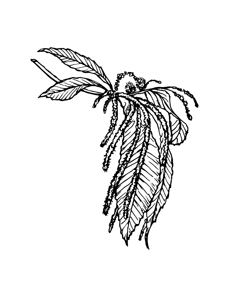 Wishcraft_Apothecary_Bach_Flower__Sweet Chestnut.jpg