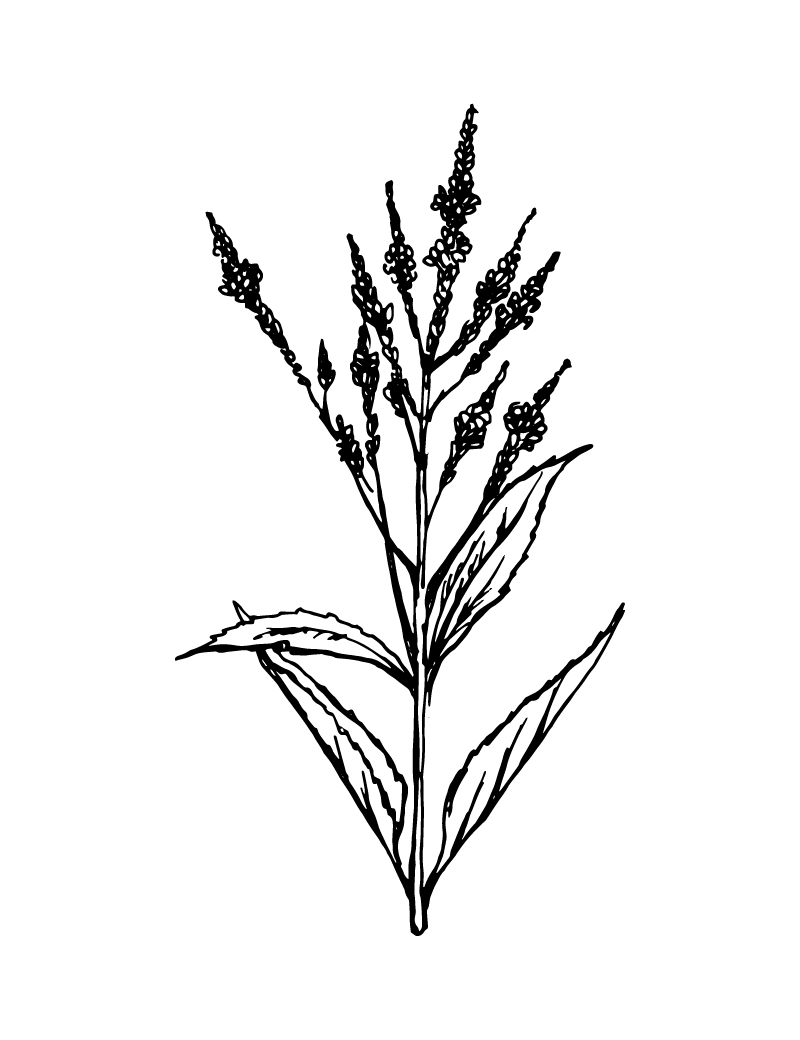Wishcraft_Apothecary_Bach_Flower__Vervain.jpg