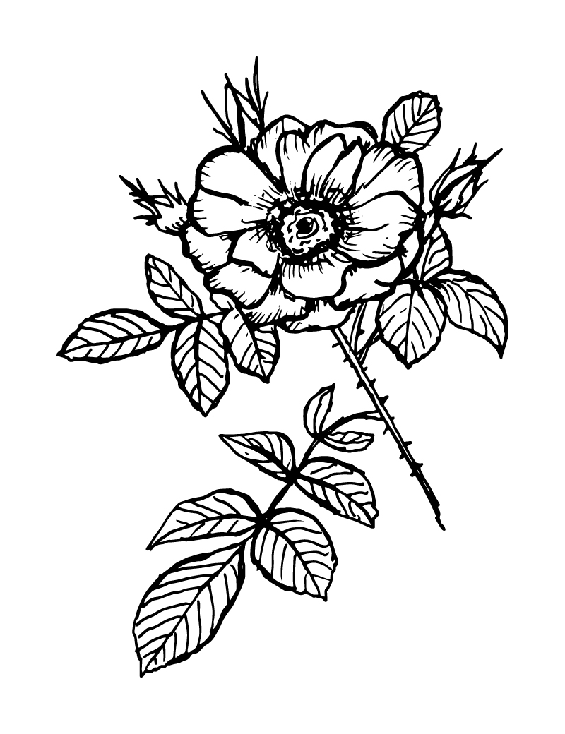 Wishcraft_Apothecary_Bach_Flower__Wild Rose.jpg