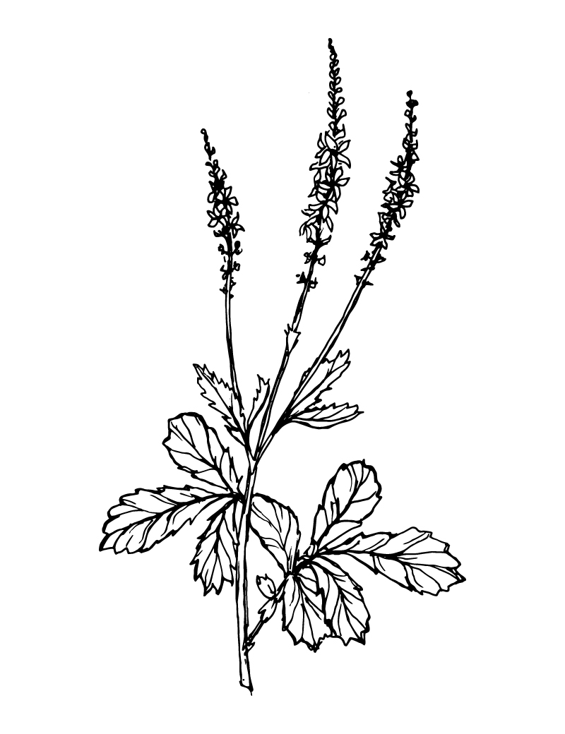 Wishcraft_Apothecary_Bach_Flower__Agrimony.jpg