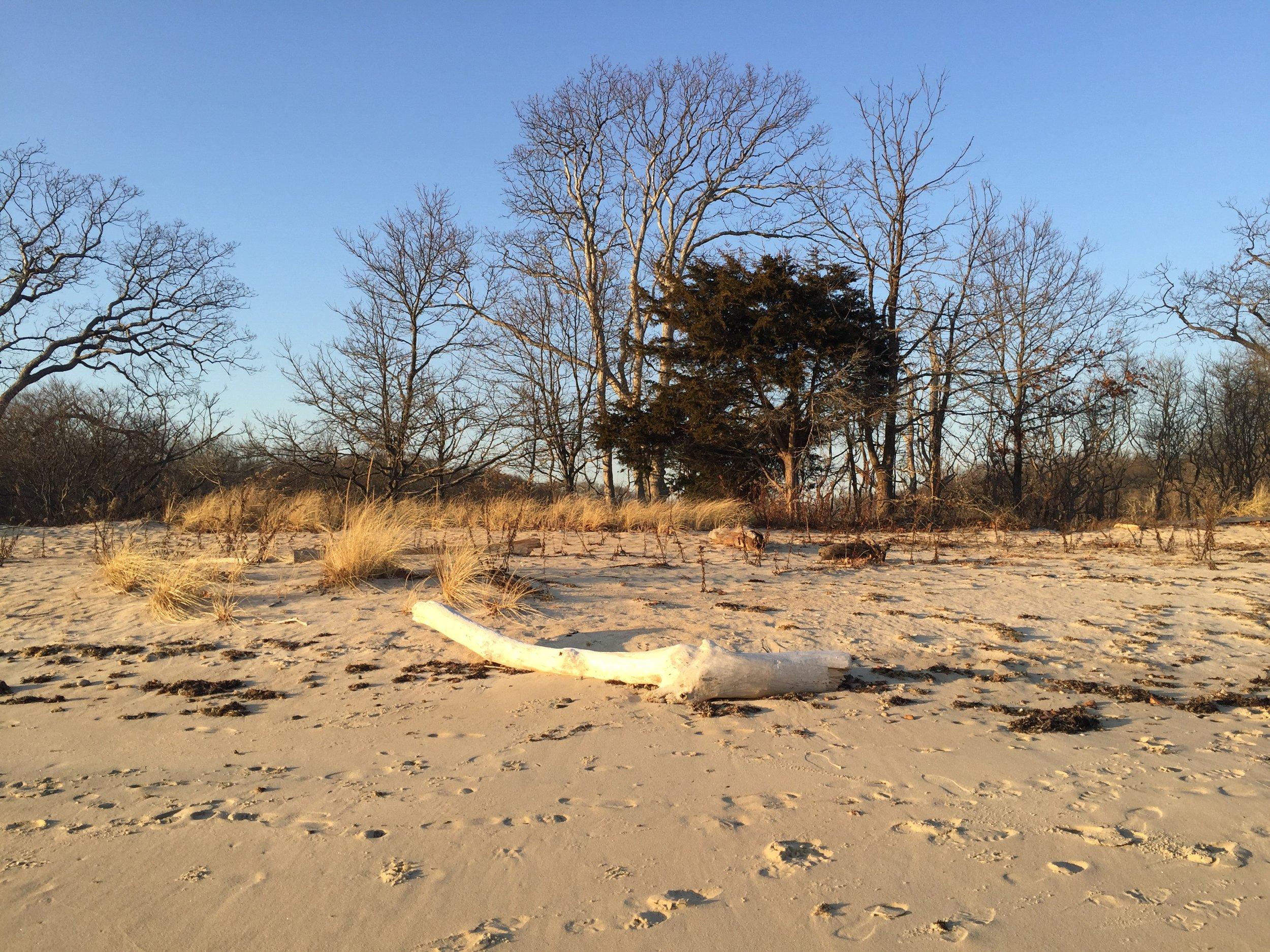 bone-white driftwood