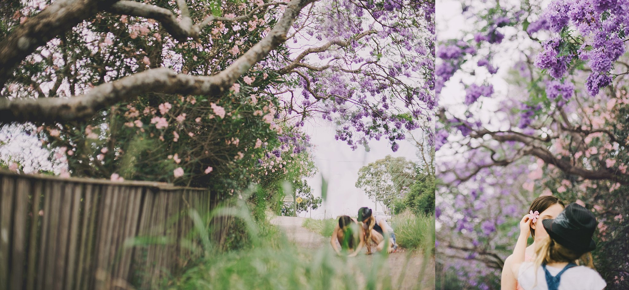 Flowering jacaranda in summer. The purple was admired during a school run.