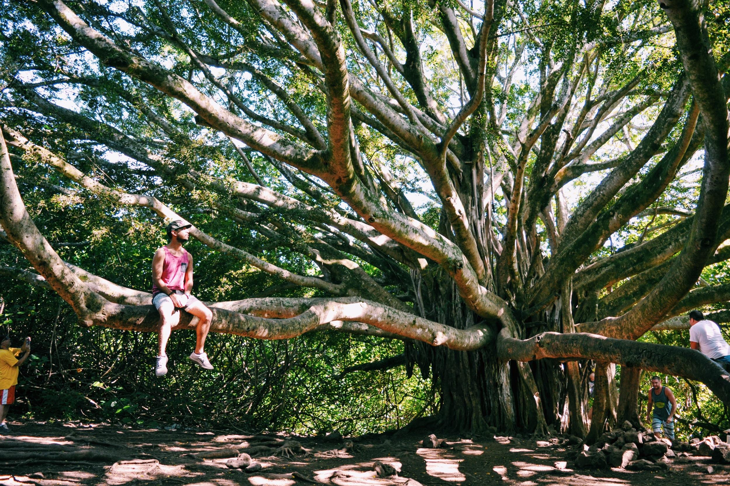 Banyan Tree Hana